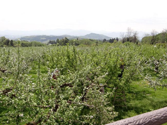岩木山のリンゴの花と、ヤマナシの巨木など ♪_a0136293_1640457.jpg