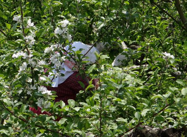 岩木山のリンゴの花と、ヤマナシの巨木など ♪_a0136293_16433521.jpg