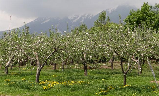 岩木山のリンゴの花と、ヤマナシの巨木など ♪_a0136293_17253069.jpg