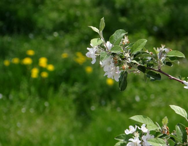 岩木山のリンゴの花と、ヤマナシの巨木など ♪_a0136293_17262614.jpg