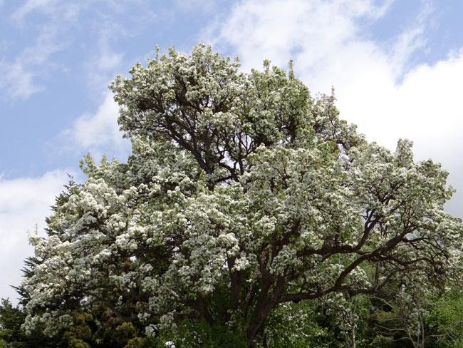 岩木山のリンゴの花と、ヤマナシの巨木など ♪_a0136293_17314846.jpg