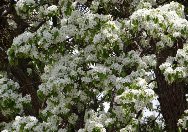 岩木山のリンゴの花と、ヤマナシの巨木など ♪_a0136293_17321228.jpg