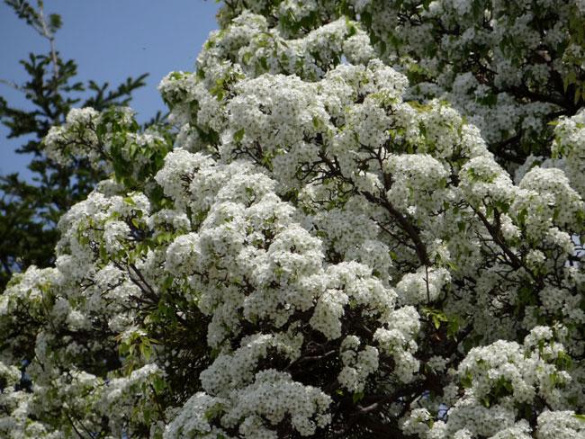 岩木山のリンゴの花と、ヤマナシの巨木など ♪_a0136293_17335880.jpg