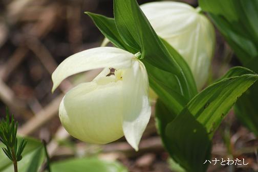 レブンアツモリソウ開花してます。_e0120026_14321367.jpg