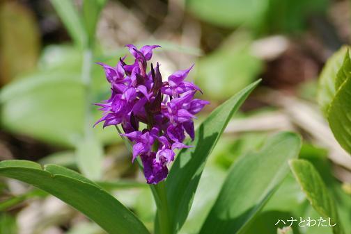 レブンアツモリソウ開花してます。_e0120026_1436389.jpg