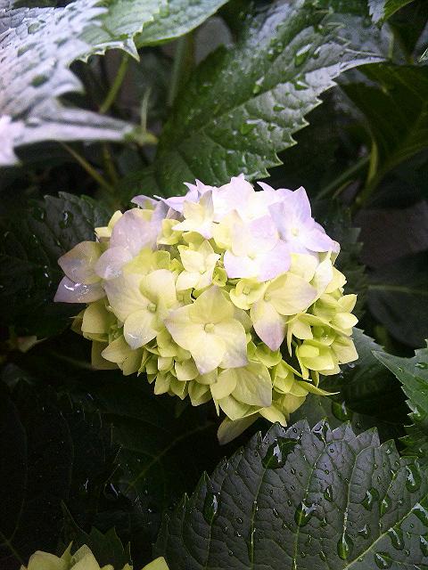 色づく紫陽花_a0103940_1955259.jpg
