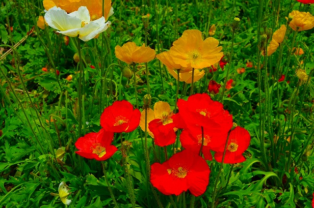 【花の祭典(紹介)】京都府立植物園_e0237645_17394254.jpg