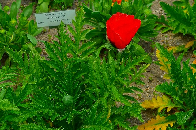 【花の祭典(紹介)】京都府立植物園_e0237645_1741444.jpg