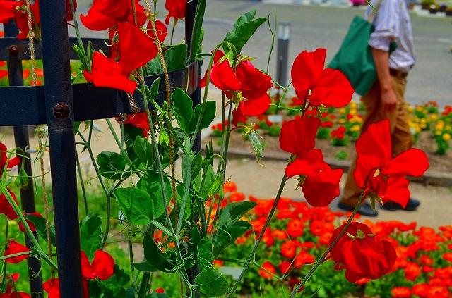 【花の祭典(紹介)】京都府立植物園_e0237645_17423812.jpg
