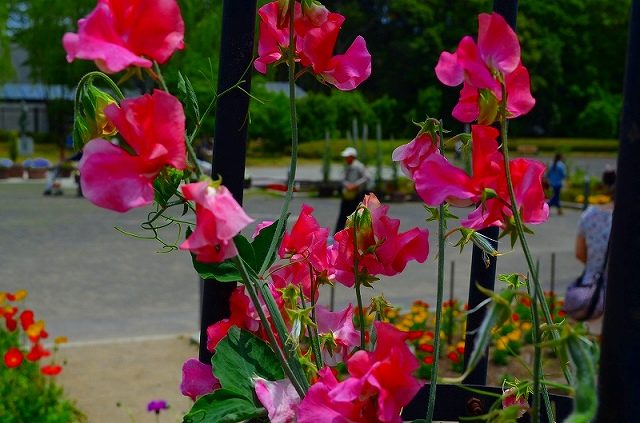 【花の祭典(紹介)】京都府立植物園_e0237645_1742534.jpg