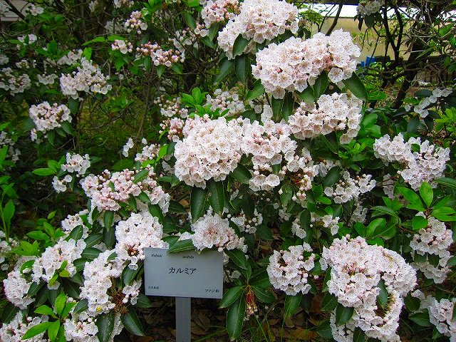 【花の祭典(紹介)】京都府立植物園_e0237645_17483779.jpg