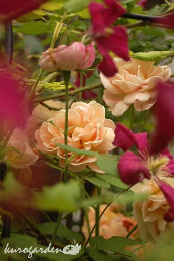 バラとクレマチス_e0119151_15585771.jpg