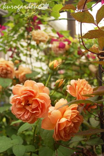 バラとクレマチス_e0119151_1558599.jpg