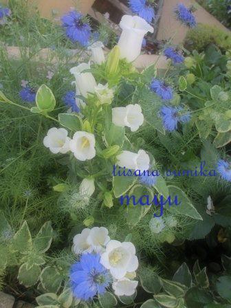 """""""ブルー&ホワイト""""のお花の清らかさ~_a0243064_035082.jpg"""