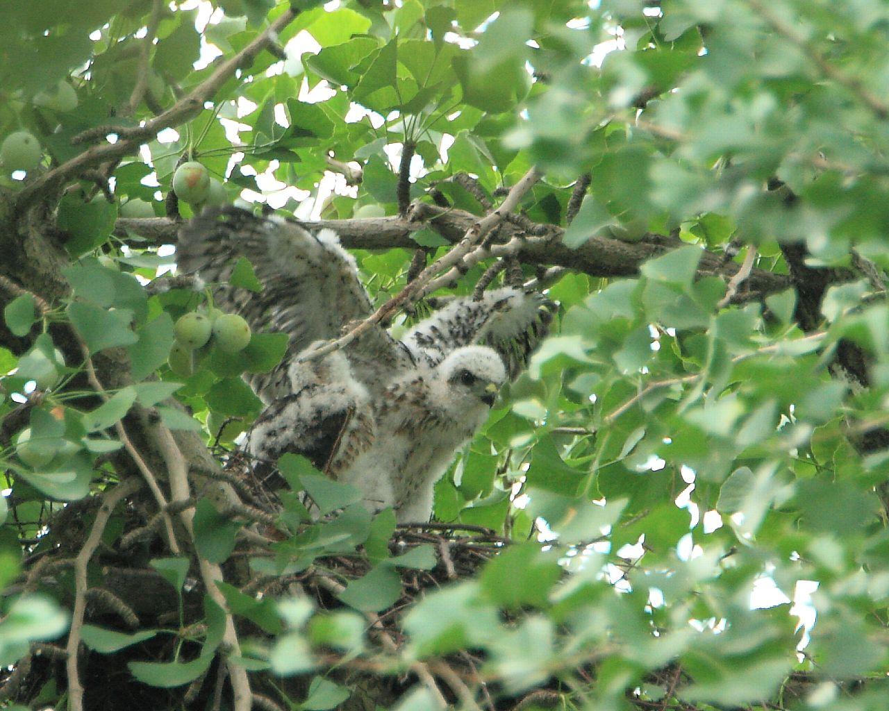 ツミの営巣木が切られてしまいました。_f0105570_21304368.jpg