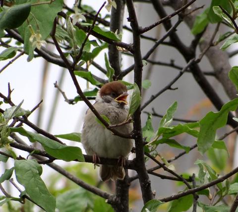 雀の巣立ちが続いて、餌台付近もにぎやか~^^_a0136293_17102024.jpg
