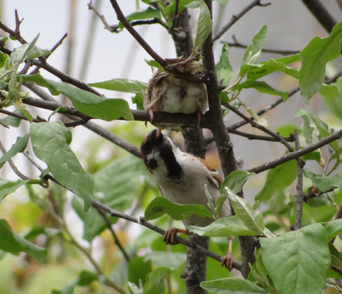 雀の巣立ちが続いて、餌台付近もにぎやか~^^_a0136293_17111779.jpg