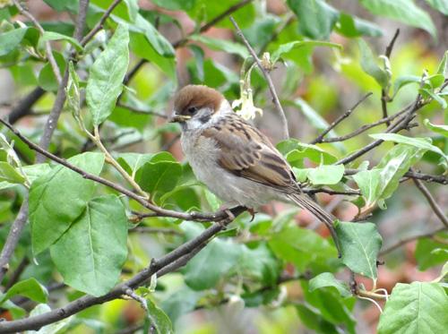 雀の巣立ちが続いて、餌台付近もにぎやか~^^_a0136293_17121036.jpg