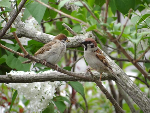 雀の巣立ちが続いて、餌台付近もにぎやか~^^_a0136293_17132874.jpg