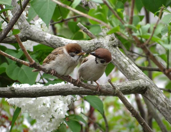 雀の巣立ちが続いて、餌台付近もにぎやか~^^_a0136293_17135316.jpg