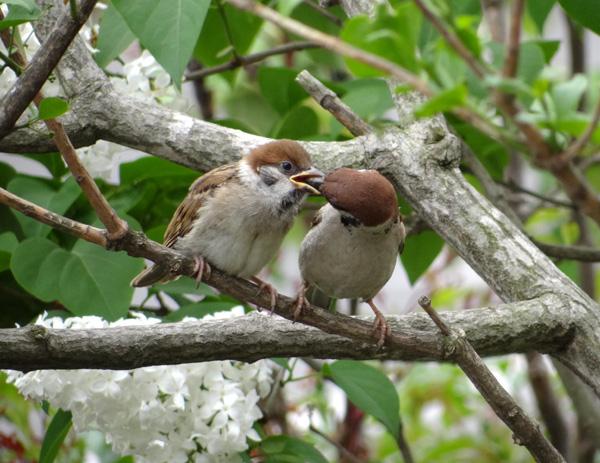 雀の巣立ちが続いて、餌台付近もにぎやか~^^_a0136293_17142023.jpg
