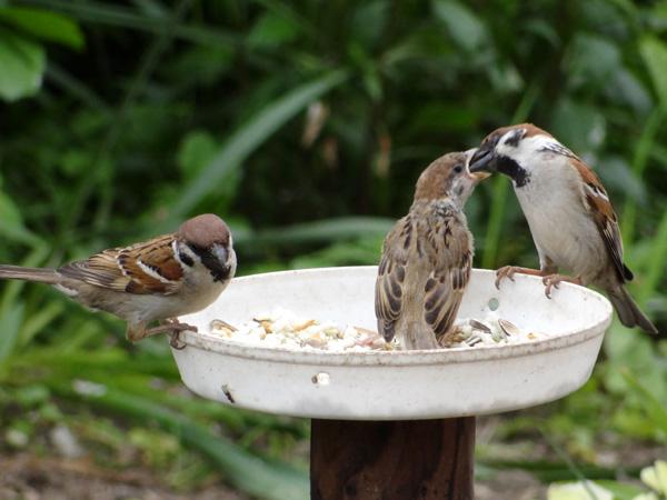 雀の巣立ちが続いて、餌台付近もにぎやか~^^_a0136293_1715502.jpg