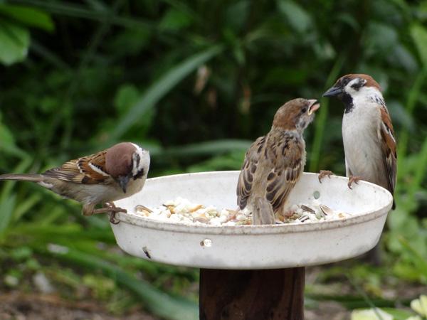 雀の巣立ちが続いて、餌台付近もにぎやか~^^_a0136293_17163413.jpg