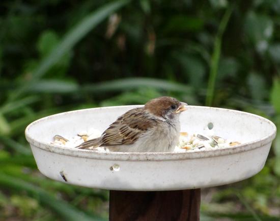 雀の巣立ちが続いて、餌台付近もにぎやか~^^_a0136293_17282699.jpg