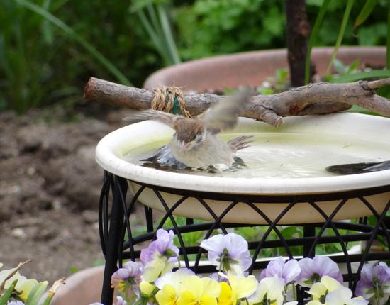 雀の巣立ちが続いて、餌台付近もにぎやか~^^_a0136293_17285476.jpg
