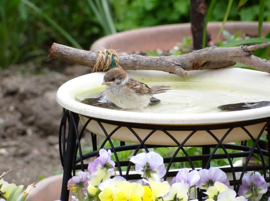 雀の巣立ちが続いて、餌台付近もにぎやか~^^_a0136293_172943100.jpg