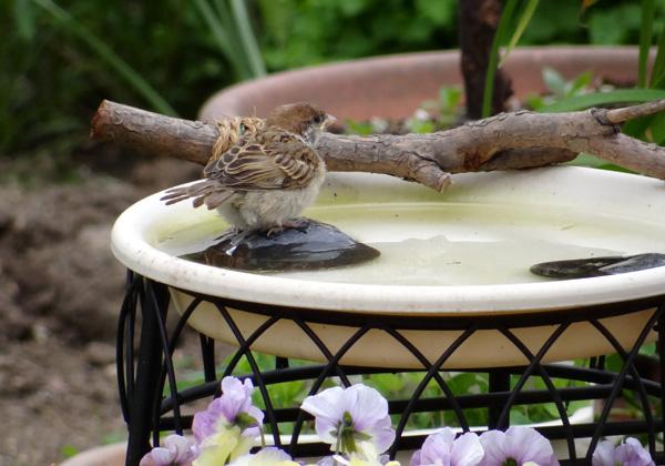 雀の巣立ちが続いて、餌台付近もにぎやか~^^_a0136293_17314765.jpg