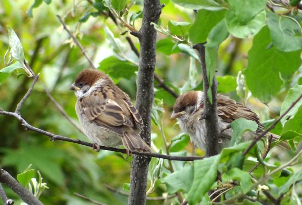 雀の巣立ちが続いて、餌台付近もにぎやか~^^_a0136293_1793830.jpg