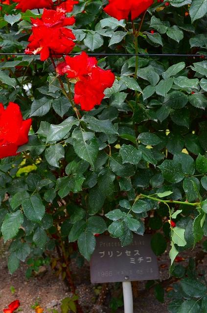 【花の祭典?③バラ園】京都府立植物園_e0237645_21102172.jpg