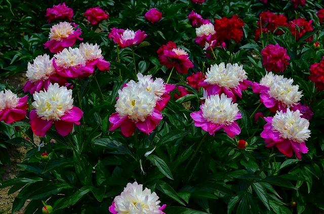 【花の祭典?②シャクヤク】京都府立植物園_e0237645_21145478.jpg