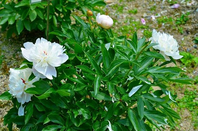 【花の祭典?②シャクヤク】京都府立植物園_e0237645_21163310.jpg
