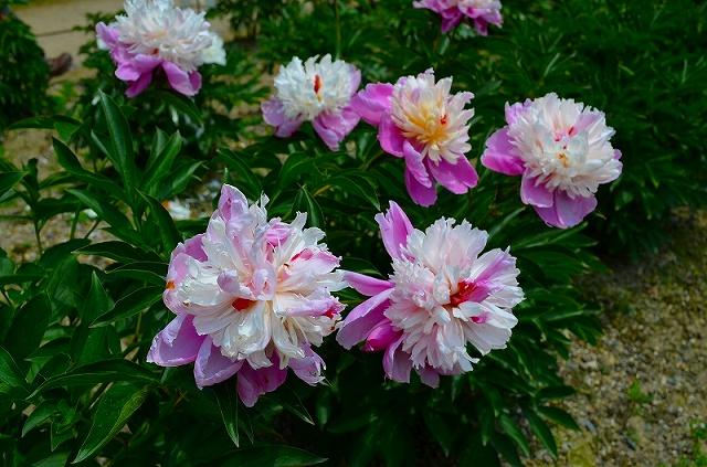 【花の祭典?②シャクヤク】京都府立植物園_e0237645_21164865.jpg
