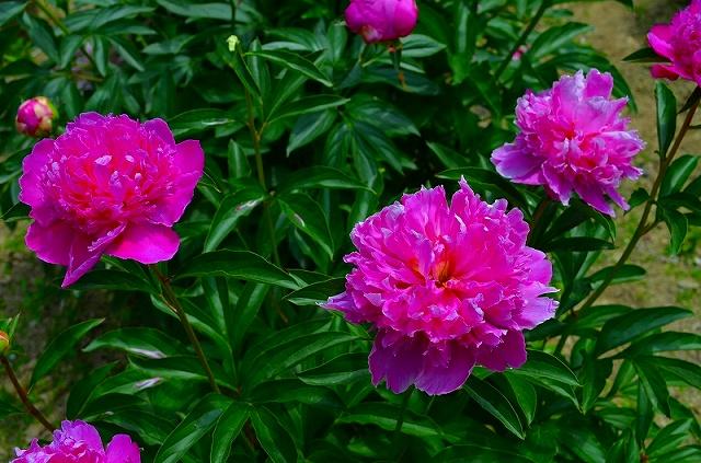 【花の祭典?②シャクヤク】京都府立植物園_e0237645_21181758.jpg