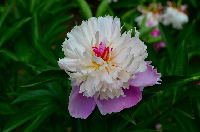 【花の祭典?②シャクヤク】京都府立植物園_e0237645_21191783.jpg