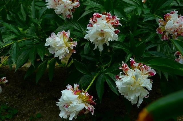 【花の祭典?②シャクヤク】京都府立植物園_e0237645_21193894.jpg