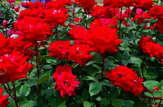 【花の祭典?③バラ園】京都府立植物園_e0237645_2123277.jpg
