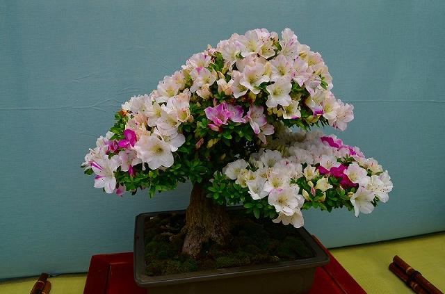 【花の祭典?①さつき】京都府立植物園_e0237645_21283050.jpg