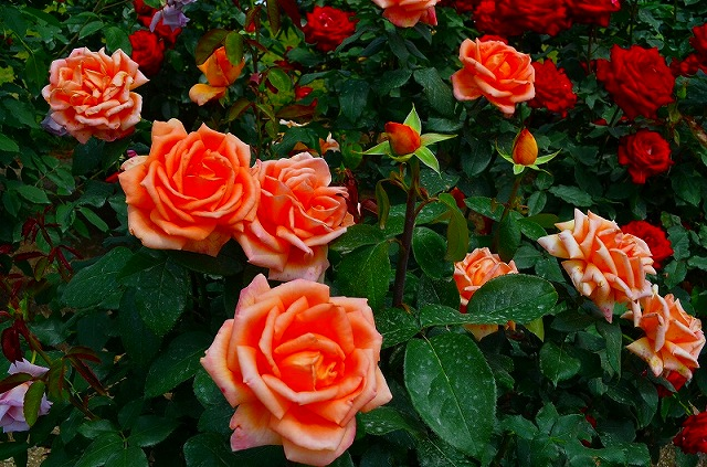 【花の祭典?③バラ園】京都府立植物園_e0237645_213328.jpg