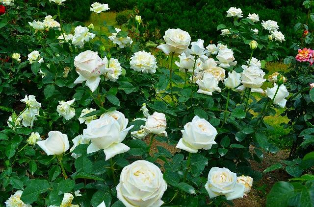 【花の祭典?③バラ園】京都府立植物園_e0237645_2142160.jpg
