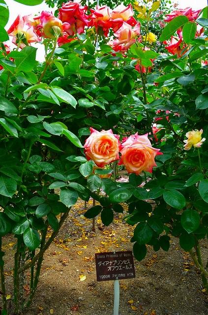 【花の祭典?③バラ園】京都府立植物園_e0237645_2144085.jpg