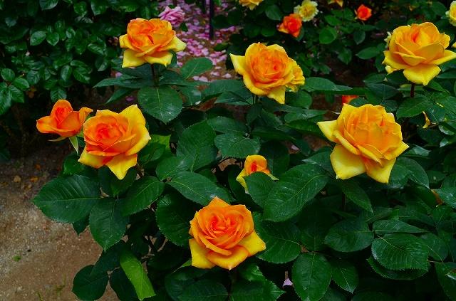 【花の祭典?③バラ園】京都府立植物園_e0237645_21508.jpg