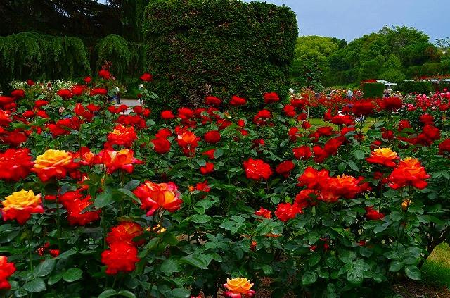 【花の祭典?③バラ園】京都府立植物園_e0237645_2153974.jpg