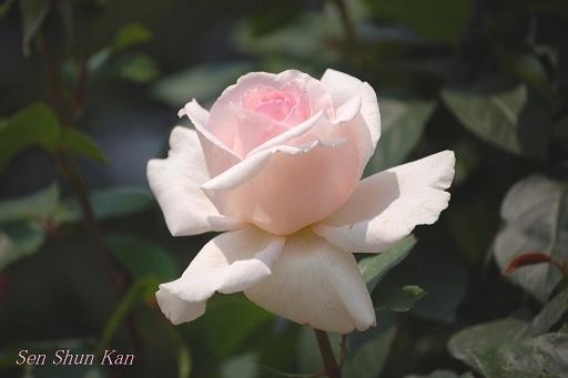 京都府立植物園のバラ (2012年5月)_a0164068_22142068.jpg