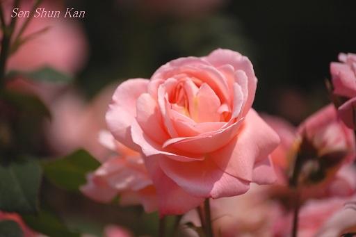 京都府立植物園のバラ (2012年5月)_a0164068_22193179.jpg