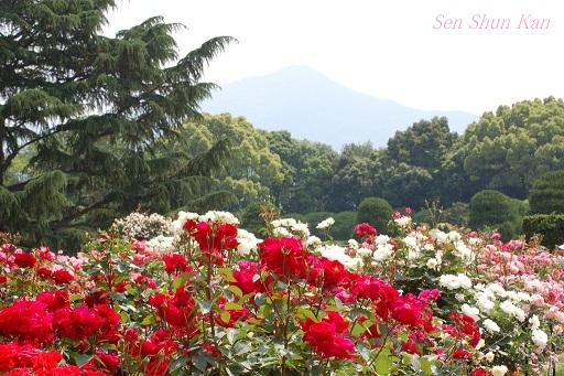 京都府立植物園のバラ (2012年5月)_a0164068_2264560.jpg