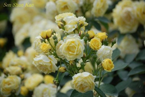 京都府立植物園のバラ (2012年5月)_a0164068_2273630.jpg